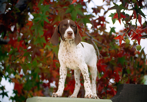 PUP 31 RK0004 03 © Kimball Stock German Shorthaired Pointer Puppy Standing On Pedestal By Autumn Trees