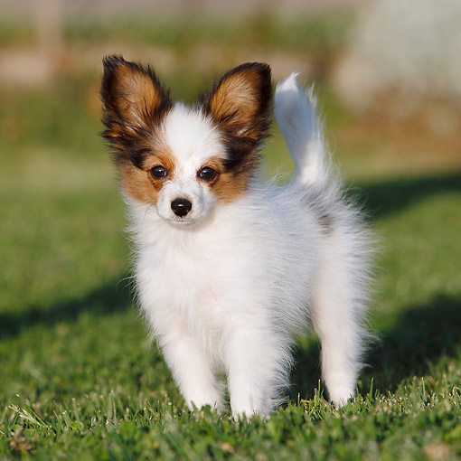 PUP 32 CB0001 01 © Kimball Stock Papillon Puppy Standing In Grass
