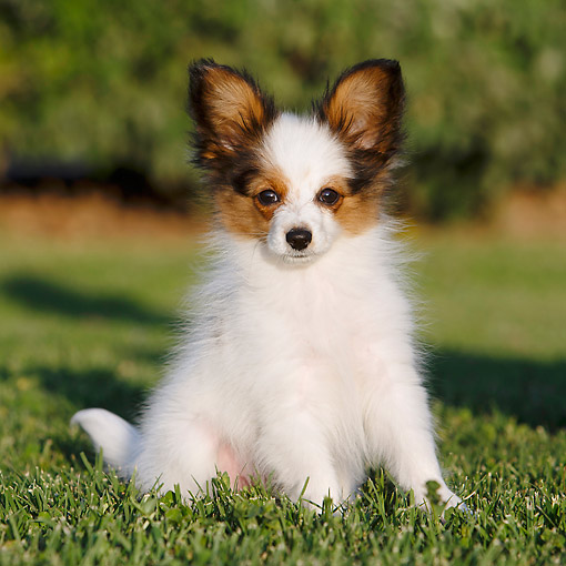 PUP 32 CB0002 01 © Kimball Stock Papillon Puppy Sitting In Grass
