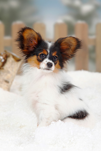 PUP 32 PE0001 01 © Kimball Stock Papillon Puppy Sitting In Snow By Fence