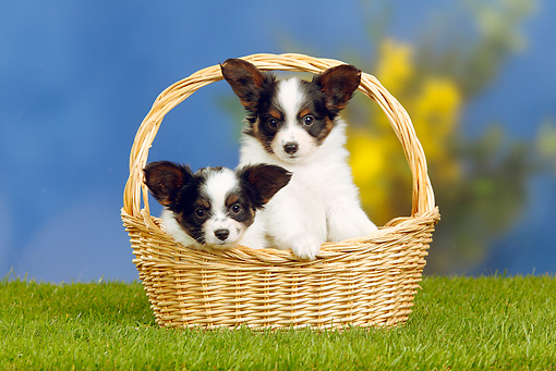 PUP 32 PE0003 01 © Kimball Stock Two Papillon Puppies Sitting In Basket On Grass