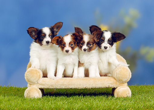 PUP 32 PE0004 01 © Kimball Stock Four Papillon Puppies Sitting On Sofa On Grass