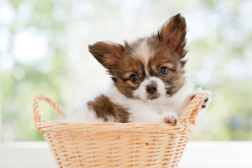 PUP 32 YT0009 01 © Kimball Stock Papillon Puppy Sitting In Basket By Window