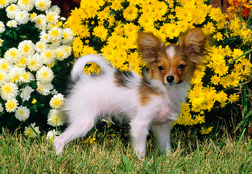 PUP 32 CE0001 01 © Kimball Stock Papillon Puppy Standing On Grass By Yellow Flowers