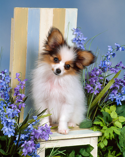 PUP 32 FA0001 01 © Kimball Stock Papillon Puppy Sitting On Chair By Purple Flowers Studio