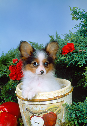 PUP 32 FA0002 01 © Kimball Stock Papillon Puppy Sitting In Flower Pot By Tree And Apples Studio