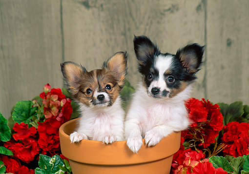 PUP 32 FA0003 01 © Kimball Stock Two Papillon Puppies Sitting In Flower Pot In Garden