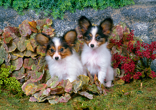 PUP 32 FA0004 01 © Kimball Stock Two Papillon Puppies Sitting In Shrubs In Garden