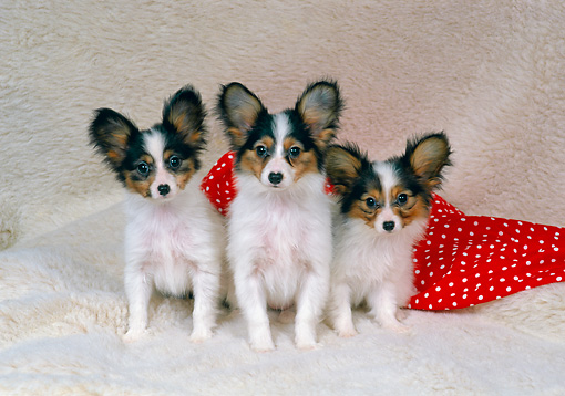 PUP 32 FA0005 01 © Kimball Stock Three Papillon Puppies Sitting On Red And White Cloth Studio