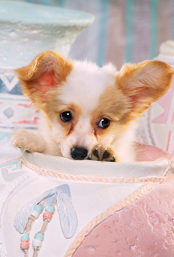 PUP 32 RK0003 01 © Kimball Stock Head Shot Of Papillon Puppy Sitting Inside Pastel Vase Facing Camera