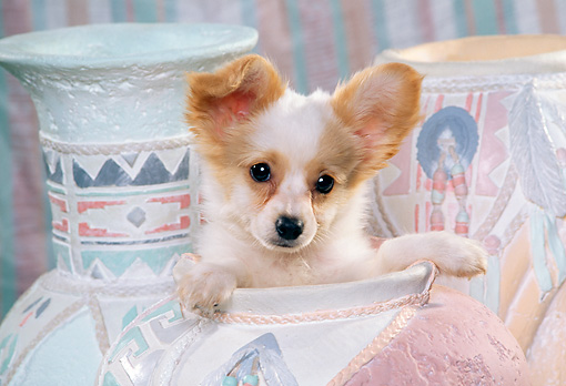 PUP 32 RK0003 16 © Kimball Stock Head Shot Of Papillon Puppy Sitting Inside Pastel Vase Facing Camera