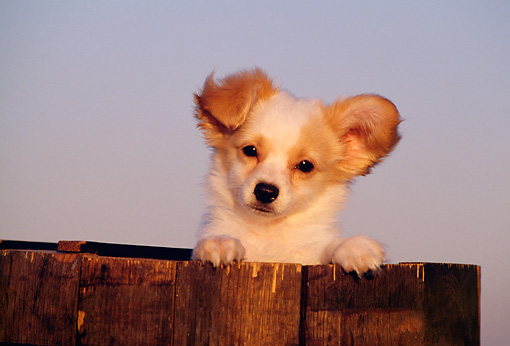 PUP 32 RK0004 05 © Kimball Stock Head Shot Of Papillon Puppy Peeking Out Of Wooden Barrel Blue Sky At Dusk