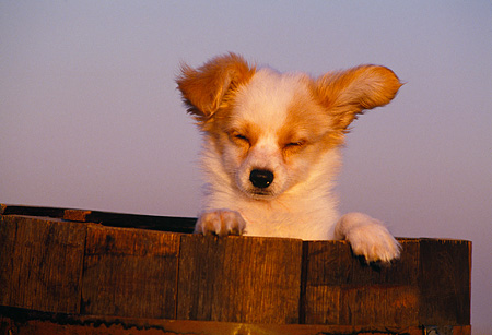 PUP 32 RK0004 06 © Kimball Stock Head Shot Of Papillon Puppy Peeking Out Of Wooden Barrel Blue Sky At Dusk