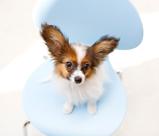 PUP 32 YT0005 01 © Kimball Stock Papillon Puppy Sitting On Blue Chair