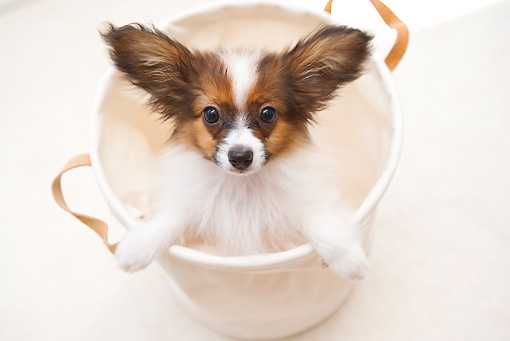 PUP 32 YT0006 01 © Kimball Stock Papillon Puppy Standing In White Bucket