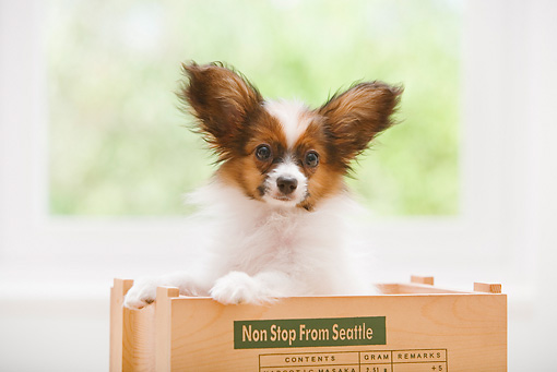 PUP 32 YT0007 01 © Kimball Stock Papillon Puppy Standing In Wooden Box
