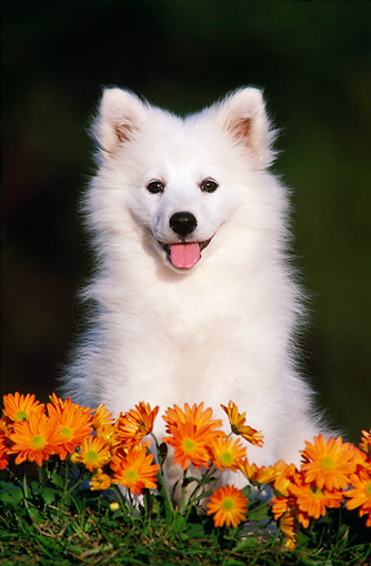 PUP 33 GR0004 02 © Kimball Stock Head Shot Of Samoyed Puppy By Orange Flowers