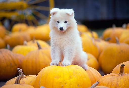 PUP 33 RK0008 12 © Kimball Stock Samoyed Puppy Sitting On Top Of Pumpkins At Pumpkin Patch