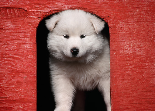 PUP 33 GR0012 01 © Kimball Stock Samoyed Puppy Standing In Doorway Of Red Doghouse