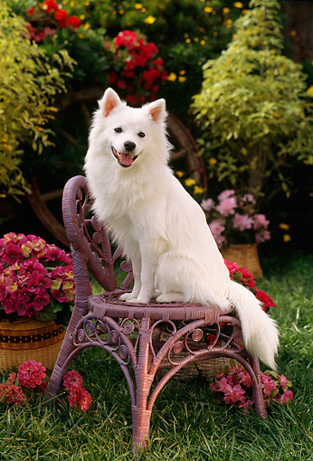 PUP 33 RC0005 01 © Kimball Stock Portrait Of American Eskimo Dog Sitting On Wicker Chair In Garden By Flowers Shrubs Grass