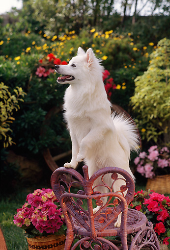 PUP 33 RC0006 01 © Kimball Stock Portrait Of American Eskimo Dog Puppy Standing On Wicker Chair In Garden