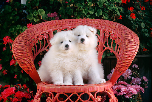 PUP 33 RC0007 01 © Kimball Stock Portrait Of Two Samoyed Puppies Sitting On Red Wicker Chair By Pink And Red Flowers
