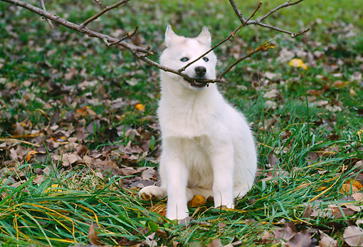 PUP 34 GR0025 01 © Kimball Stock Siberian Husky Puppy Sitting On Grass With Branch In Mouth