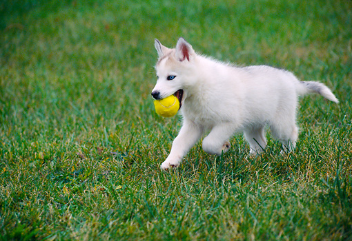PUP 34 GR0026 01 © Kimball Stock Siberian Husky Puppy Running On Grass With Tennis Ball In Mouth
