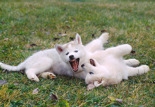 PUP 34 GR0028 01 © Kimball Stock Two Siberian Husky Puppies Playing On Grass