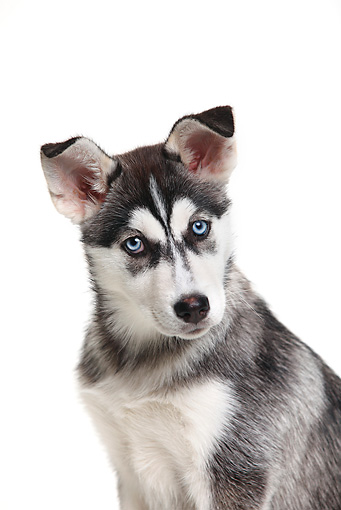 PUP 34 PE0001 01 © Kimball Stock Siberian Husky Puppy Sitting On White Seamless