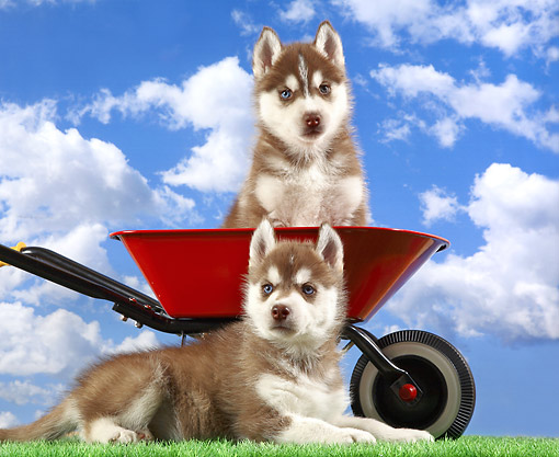 PUP 34 XA0001 01 © Kimball Stock Husky Puppies Sitting With Wheelbarrow
