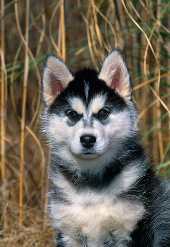 PUP 34 CE0003 01 © Kimball Stock Shoulder Shot Of Siberian Husky Puppy Sitting By Tall Grass