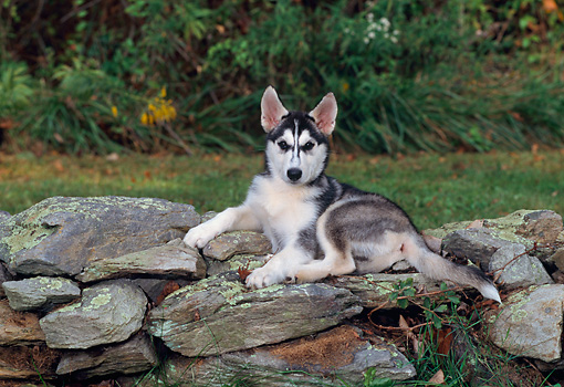 PUP 34 CE0004 01 © Kimball Stock Siberian Husky Puppy Laying On Stone Wall By Grass And Shrubs