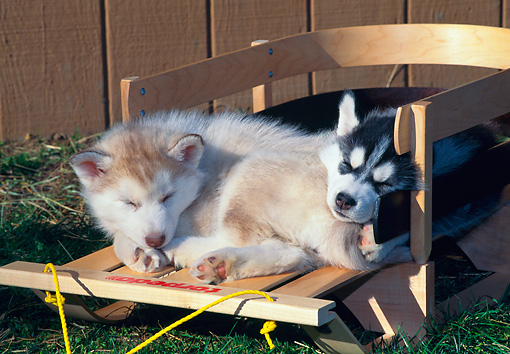 PUP 34 CE0005 01 © Kimball Stock Two Siberian Husky Puppies Sleeping On Wooden Sled By Fence