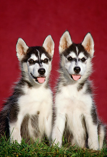PUP 34 GR0013 01 © Kimball Stock Two Siberian Husky Puppies Sitting In Grass By Red Wall