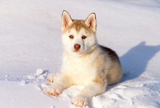 Siberian Husky Puppy Laying On Snow Kimballstock