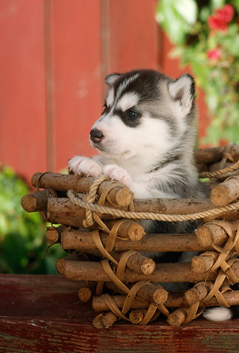 PUP 34 RC0004 01 © Kimball Stock Portrait Of Siberian Husky Puppy Sitting In Wood Branch Basket On Table