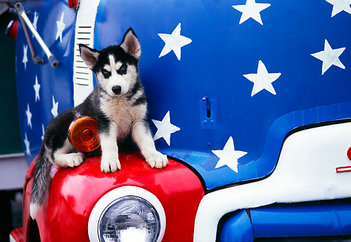 PUP 34 RK0001 08 © Kimball Stock Siberian Husky Puppy Sitting On Fender Of Old Red And Blue Truck