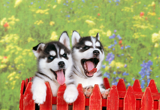 PUP 34 RK0015 01 © Kimball Stock Head Shot Of Two Siberian Husky Puppies Standing Behind Red Fence Mouth Open