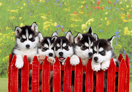 PUP 34 RK0018 01 © Kimball Stock Head Shots Of Siberian Huskies Behind Red Fence