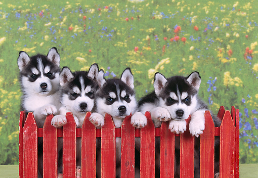 PUP 34 RK0018 02 © Kimball Stock Head Shots Of Siberian Huskies Behind Red Fence