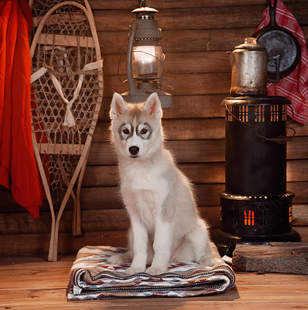 PUP 34 RS0002 02 © Kimball Stock Siberian Husky Puppy Sitting In Cabin