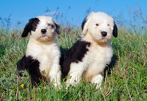 PUP 35 CB0001 01 © Kimball Stock Two Old English Sheepdog Puppies Sitting In Grass