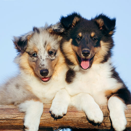 PUP 35 CB0002 01 © Kimball Stock Two Shetland Sheepdog Puppies Leaning On Railing