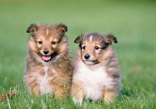 PUP 35 GL0001 01 © Kimball Stock Two Shetland Sheepdog Puppies Sitting On Grass