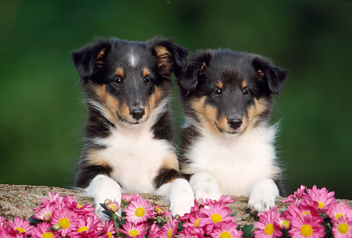 PUP 35 GR0003 01 © Kimball Stock Head Shot Of Two Shetland Sheepdog Puppies Over Log By Pink Flowers