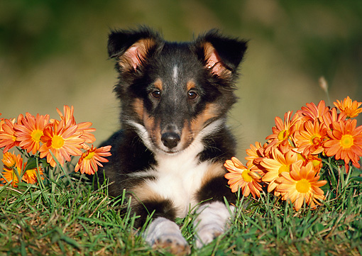 PUP 35 GR0006 01 © Kimball Stock Head Shot Of Shetland Sheepdog Puppy Laying On Grass By Orange Flowers