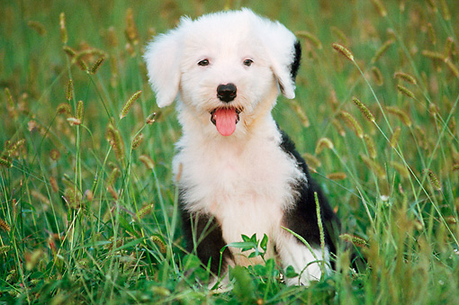 PUP 35 GR0013 01 © Kimball Stock Old English Sheepdog Puppy Sitting On Grass