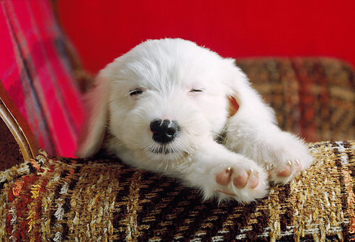 PUP 35 GR0025 01 © Kimball Stock Old English Sheepdog Puppy Sleeping On Chair