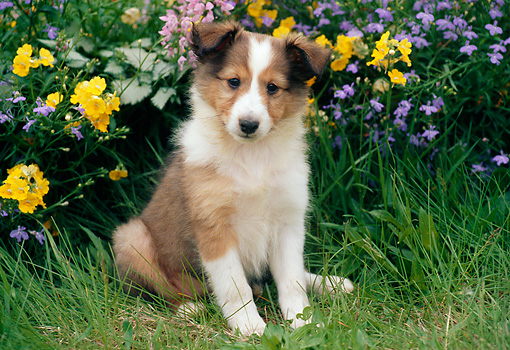 PUP 35 GR0027 01 © Kimball Stock Shetland Sheepdog Puppy Sitting In Garden